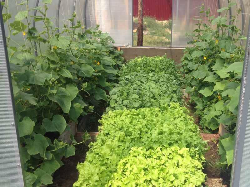 Теплица со свежими овощами и зеленью